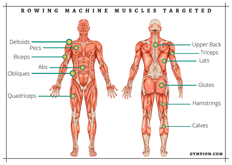 rowing machine muscles targeted chart